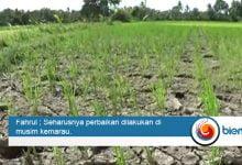 Photo of Ratusan Hektar Lahan Pertanian Terancam Gagal Tanam