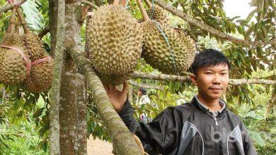 Sahara Durian Farm