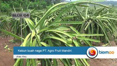 PT agro Fruit Mandiri