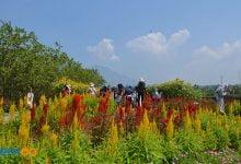 Photo of Foto: Indahnya Warna-warni Bunga di Kampung Jambu