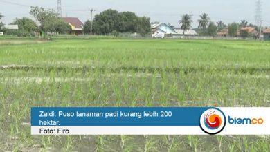 Photo of 200 Hektar Tanaman Padi di Kabupaten Serang Alami Puso, Zaldi: Produksi Aman