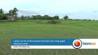 Photo of Curah Hujan Rendah, Musim Tanam Padi di Kabupaten Serang Mundur