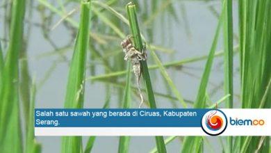 Photo of Petani Diminta Waspada Serangan Hama Keong dan Wereng