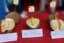 Photo of Inilah Pemenang Kontes Durian 'Festival Hortikultura' Pandeglang