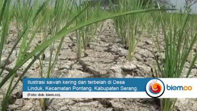 Photo of Ribuan Hektare Sawah Gagal Panen, Distan Banten: Sudah Kami Tangani