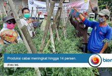 Photo of Ketahanan Pangan Terbantu, Produksi Cabai Poktan Binaan BI Meningkat