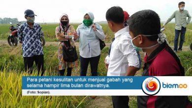 Panen Raya Tak Bahagia, Petani di Lebak Kesulitan Jual Gabah